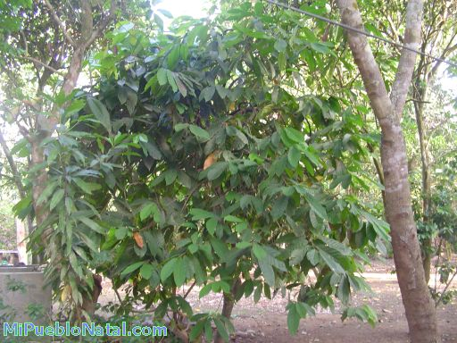 Arbol de cacao