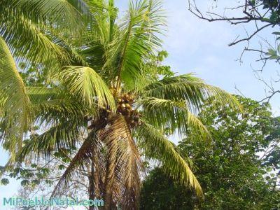 arbol de coco