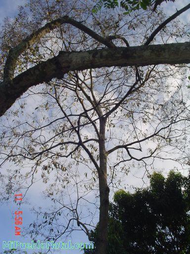 Arbol de cedro