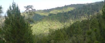Arbol Nacional de Honduras