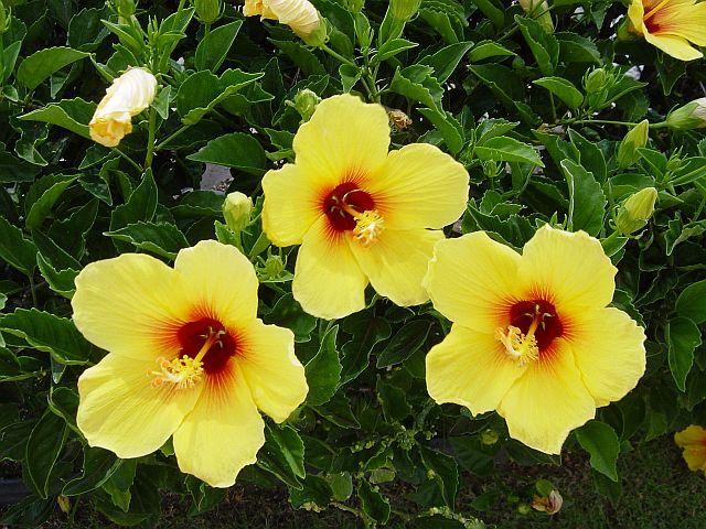 Hawaii State Flower