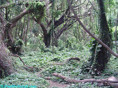Honolua Bay Tress